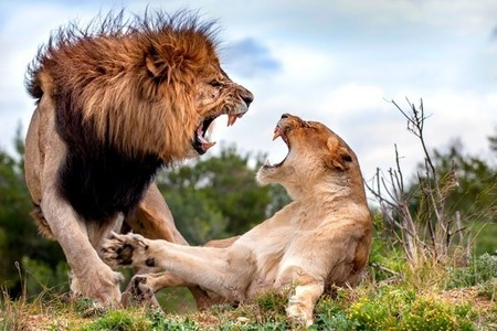 In the movie, Nala would win sa pamamagitan ng pinning him to the ground but in reality, Simba would win sa pamamagitan ng strength and size. A male lion can kill a leona if desire to. Known madami than one leona usually fight off the male sa pamamagitan ng protecting their cubs. but one sa pamamagitan ng one, the male can actually go for the throat and suffocate the female.