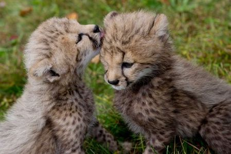these 2 cute cheetah cubs,which happen to be one of my fave mga hayop