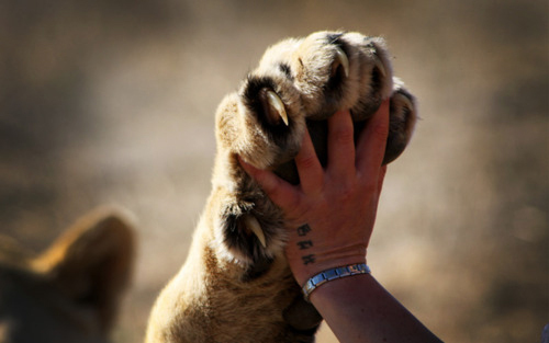 a random pic of a human hand volgende to a lion's paw