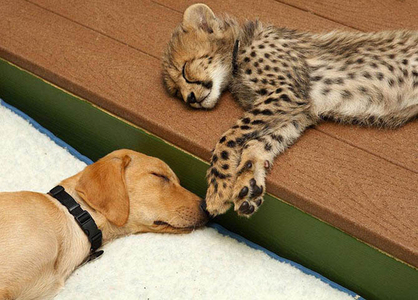 cheetahs and dogs<3