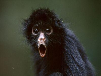 gagamba monkey~