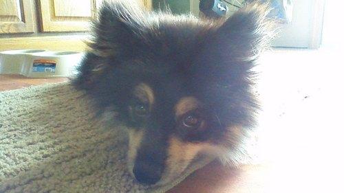 This lil guy. My dog, Pomer! :D