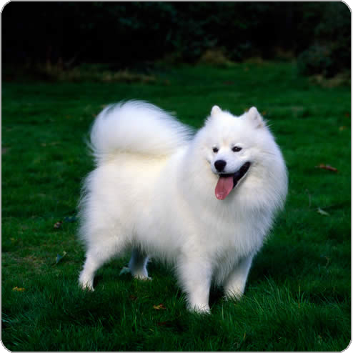 OMG I प्यार SAMOYEDS SO MUCH and reaaaally want one. They have such gorgeous coats, faces and nature. I have noticed that they look similar to one another, probably because of the homogeneity of hair colour, size, stature. Compare this, for example, to a poodle या a shitzu which can be any possible colour between black and white, be mixed colours, have very different haircuts, have very different faces and tails, etc. Samoyeds always have the same, या very similar, of these features. So yeah, I agree :) Edited to add the adorable चित्र I have hanging around my computer.