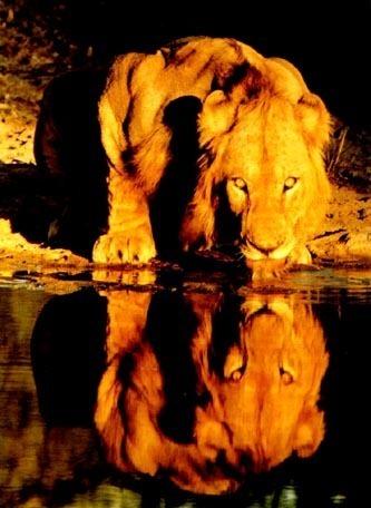 Lion drinking :)