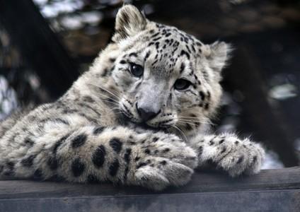 snow leopard ~
