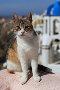 Biased towards my pets. My cat is a calico Aegean.~ But all cats. I amor all cats. gatos are important.