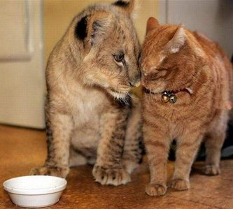 This kitty made a friend, a lion cub <3333