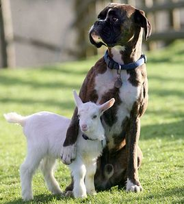 Here's a dog and a goat <3