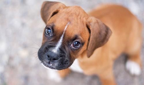 boxer, berdan Anak Anjing