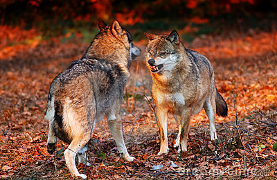 WOLVES!!!!!