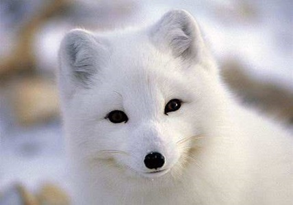 Artic Foxes <3