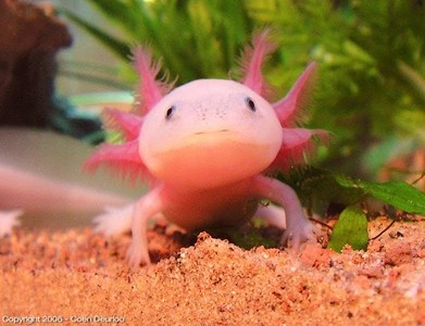 Axolotls are the greatest 動物 to ever walk this earth. They who disagree can suffer The Axolotl's undying wrath.