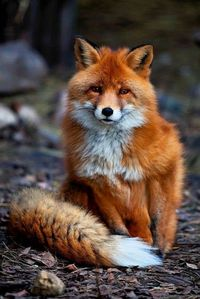 A red fuchs of course. They're the best and cutest Tiere ever!