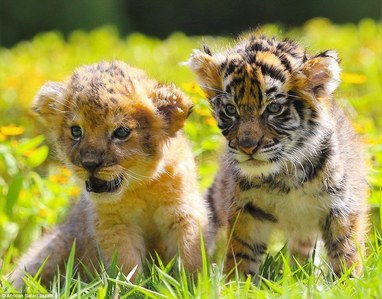 Lion cubs and even tiger cubs 🐾