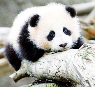🐼 Panda bär Cub 🐼