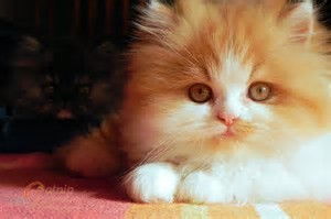 """ME! =D I'd প্রণয় to own a Persian kitten, অথবা even an Exotic Shorthair one, but my mother doesn't like cats... ah, depression.... -__-"""""""