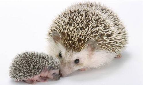 Anyone who knows me knows that I would adopt a hedgehog in a heartbeat. I have so many opportunities to nab one from my backyard as they pop up so often...but wild hedgies... and diseases... and shouldn't take them from their environment... sad face.