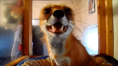 A domesticated red fox. They are people in Russia and in a few places in the USA, to have it legally.