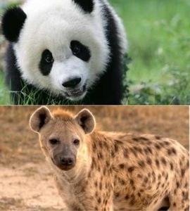 Either a Panda oder a Hyena