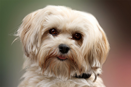 havanese dog ^^ actually any Hunde which doesn't grow big!