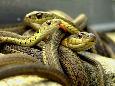 since i already own three cats,i would Liebe to have a snake as a pet