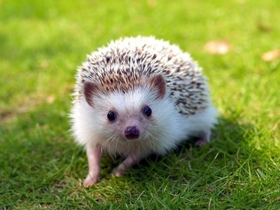 But hedgehogs as pets are banned in my state so