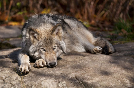 🐺 Gray Wolf. Wölfe are one of my Favorit Tiere besides dogs.