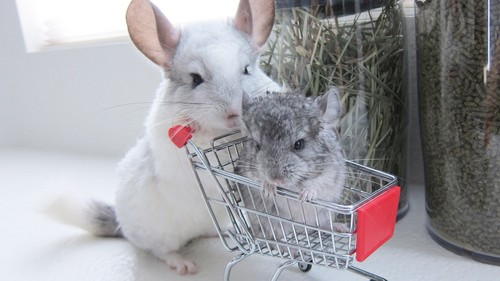 Chinchillas <3 I did a diorama on them a few years zamani and I've been in upendo with them ever since.
