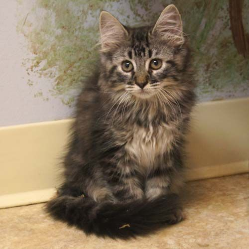 I have a cat, but I would like a Main coon, they are so beautiful and they can be much bigger than usual pet cats.