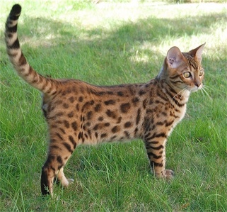 If I could have one, it would be a Bengal cat.