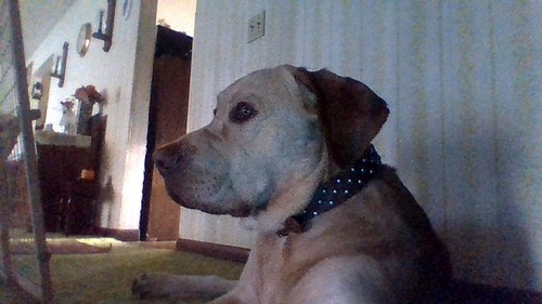 i have a yellow lab (male) named muffin <3 (pic was from a while nakaraan like when he was 1 or 2 years old, he's now 3 years old)