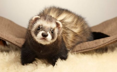 tu got: Ferret. You're a ferret. You're quite the card, my friend! You're mischievous, and territorial! But that doesn't mean tu don't like to have fun because you're also easily hyped up for things!