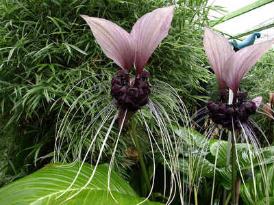 Tacca Chantrieri, the bat flower.