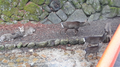 I spotted the herd of deers passing द्वारा under the bridge in Japan!