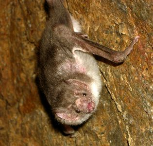I feel like most people are well aware of this tho lol Posting a vampire bat because they have such a bad rep. I pag-ibig them tho <3