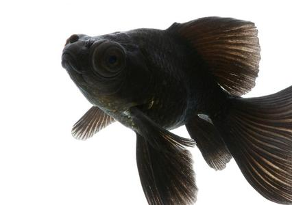Googly Eyes the black moor goldfish