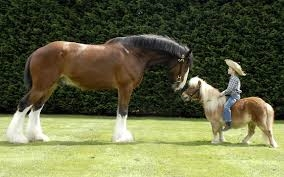 what's your favorito horse shire or Shetland pónei, pônei
