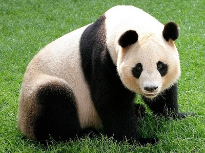 Do 你 find/consider the panda to be a true bear, not exactly, 或者 don't really care?