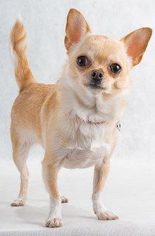Do You Like Chihuahuas?