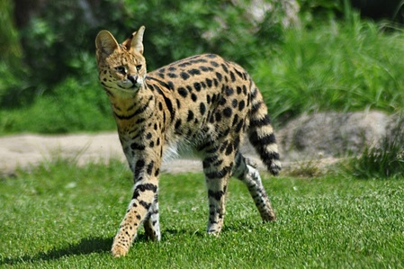 I need a WC name for a serval, shown below, with furred dragon wings blue eye and unuasually long claws and tail. pelliccia on wings match the servals pelliccia pattern and I prefer a name with sand in it since that's what their pelliccia mostly looks like. Thanks! Get