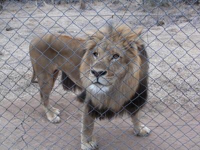 Evil Lion Hunters.....