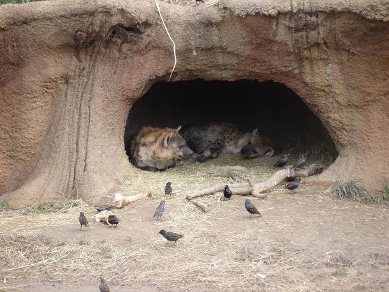 Things people always get wrong about hyenas - Hyenas - Fanpop