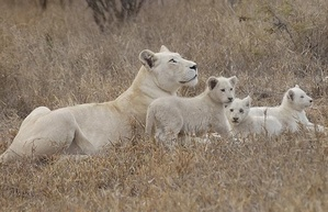 This Is a rare sight to see a female lion with white gene and three white lion cubs in the wild.