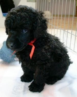 The Toy Poodle Michael Gave Maris As A Housepet