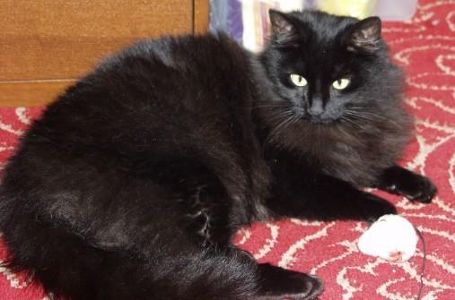 Raven. Maris' Pet Cat