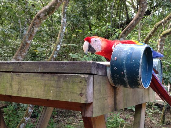 A picture of the national bird of Honduras, red munchkin(?) from my most reciente trip to Honduras, foto taken por me