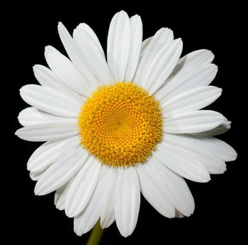 Daisy's Inspiration