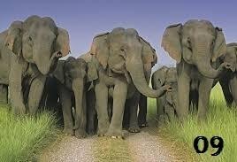 Indian हाथी