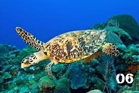 Hawksbill con rùa, rùa