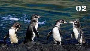 Galapagos chim cánh cụt